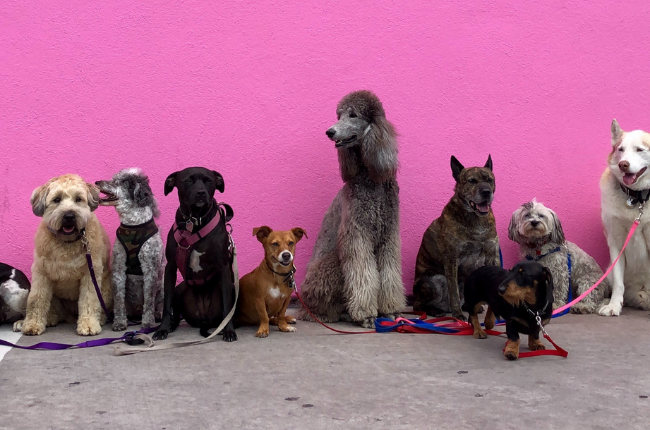 Dogs against a pink wall